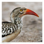 Title: Red Billed hornbill portrait