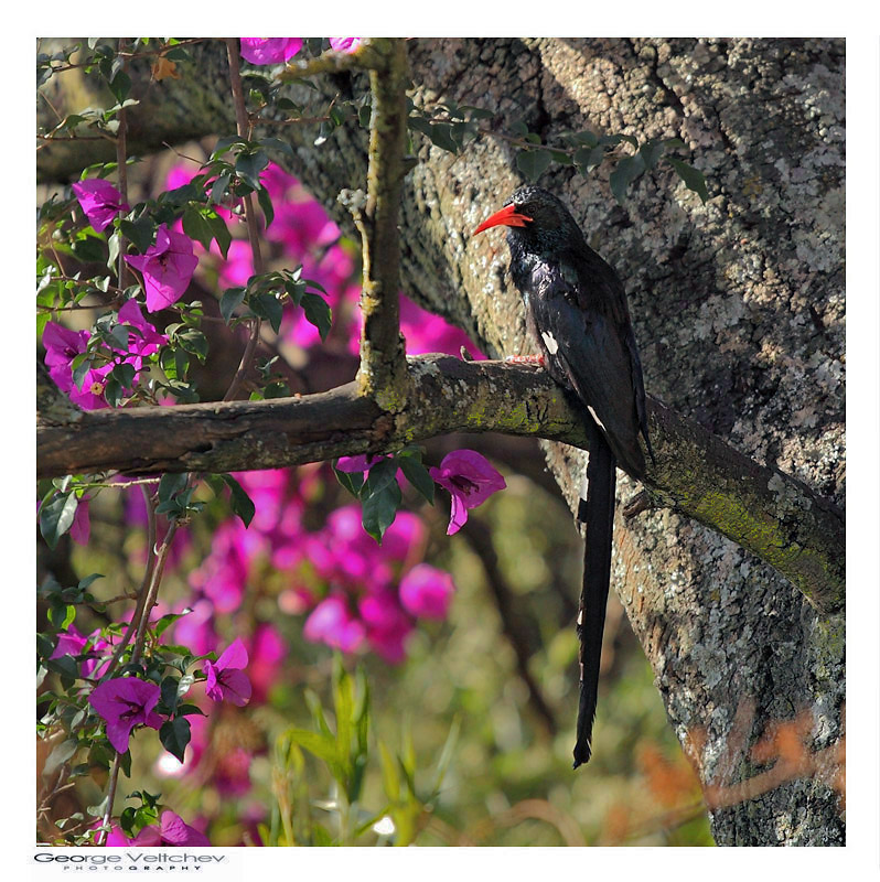 Red-billed Wood hoopoe