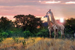 Title: giraffe couple Camera: Canon 5D MKII