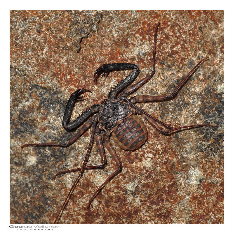 Tailless whip scorpions - 1st for TN