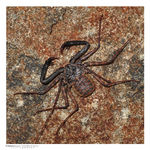Title: Tailless whip scorpions - 1st for TN