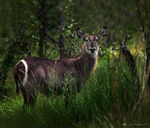 Title: waterbuck in kruger