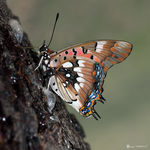 Title: Pearl Spotted Charaxes