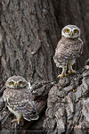 Title: Little Spotted Owlets