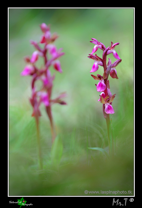...Orchis collina...