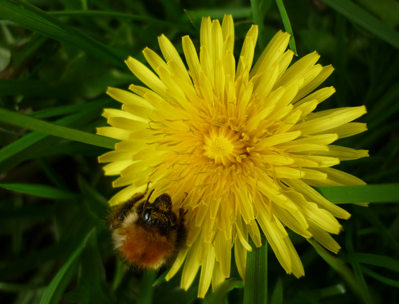 Dandelion and Bumble Bee