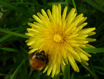 Title: Dandelion and Bumble Bee