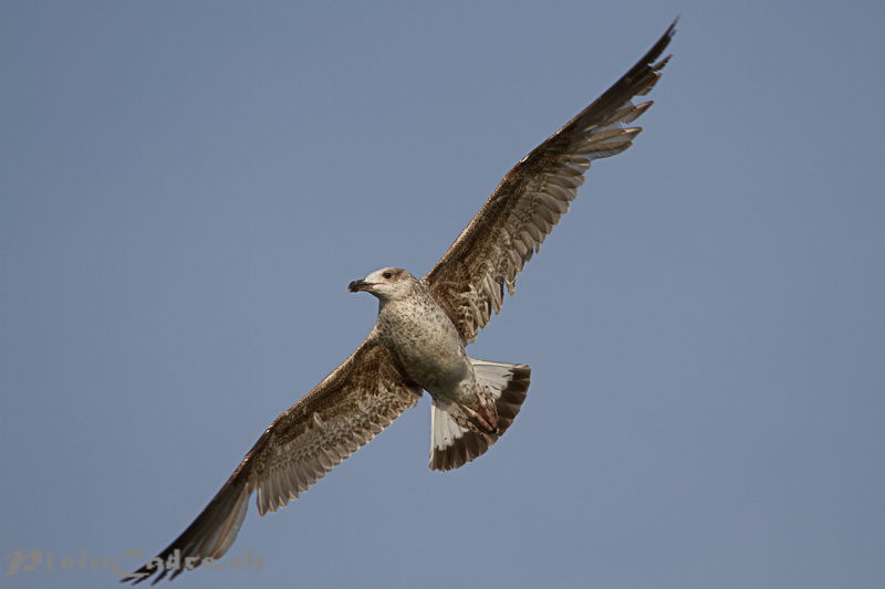 young Gull flying
