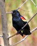 Title: Singing  Male Red-winged Blackbird