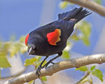 Title: Male Red-winged Balckbird