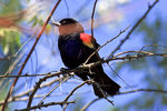 Title: Male Red-winged Blackbird