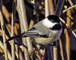 Title: Black-capped Chickadee