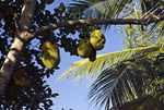 Title: Jack Fruit tree