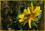 Title: Hoverfly on a yellow planet