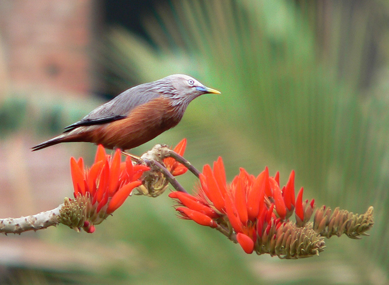 chestnut-tailed_starling