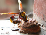Title: Potter Wasp.