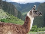 Title: The Proud Lama of Machu Picchu