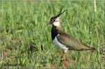 Title: Northern Lapwing
