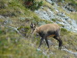 Title: Young chamois