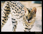 Title: Serval