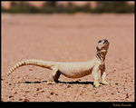Title: Spiny-tailed lizard