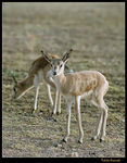 Title: Young Gazelle