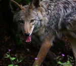 Title: Coyote Standoff