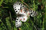 Title: Parnassius apollo couple