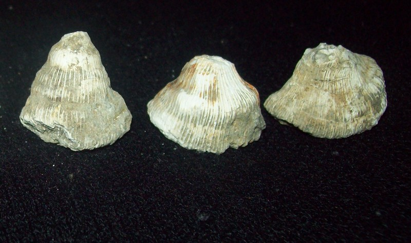 Conic form fossil corals