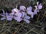 Title: Cyclamen mirabile of this autumn