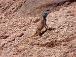 Title: Lizzard in Wadi Rum