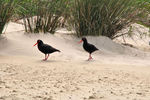Title: african black oyster catcher