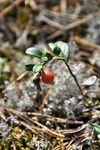 Title: a lonely rowanberry