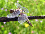 Title: Broad-bodied Chaser-Libellula depressa
