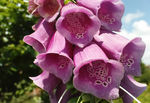 Title: Digitalis purpurea