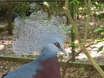 Title: Victoria crowned pigeon