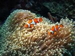 Title: True clown anemonefish