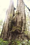 Title: giant cedar: rain forest walk trail