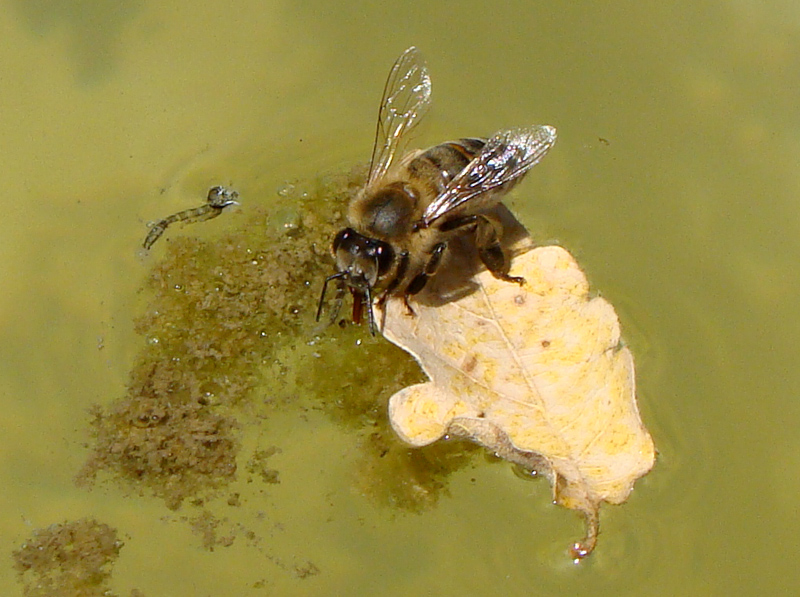 The bee's drinking water