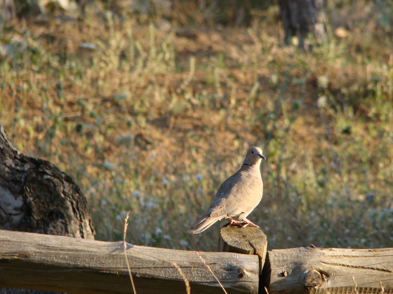 Dove, late in the afternoon