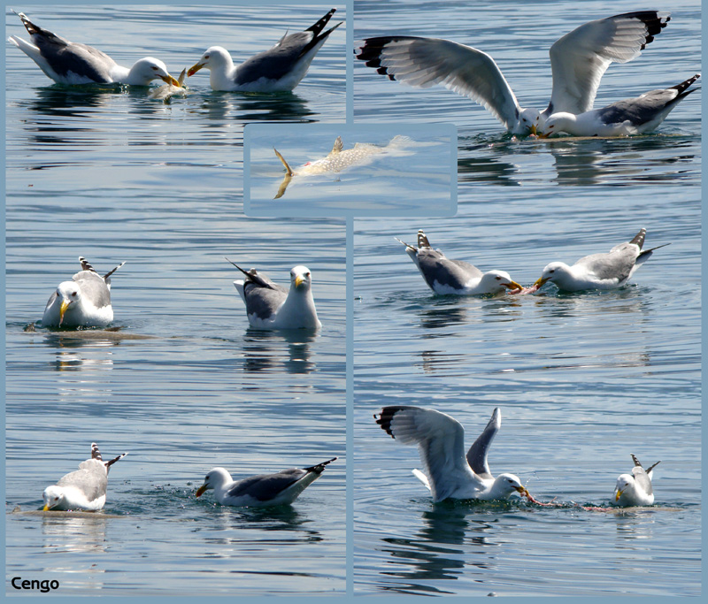 Seagulls are feasting a dead pike (esox)