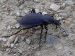 Title: Big insect with blue-black shield