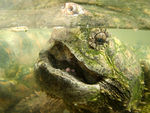 Title: Snapping Turtle