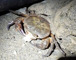 Title: Crab in the night