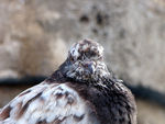 Title: Old Pigeon