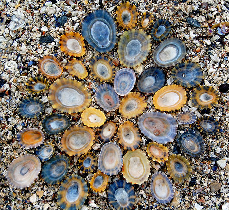 Variation in Limpets