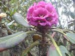 Title: Rhododendron Kesangiae