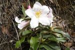 Title: Rhododendron Maddenii