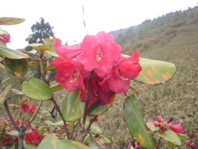 Rhododendron Thomsoni