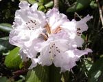 Title: Rhododendron Wallachii